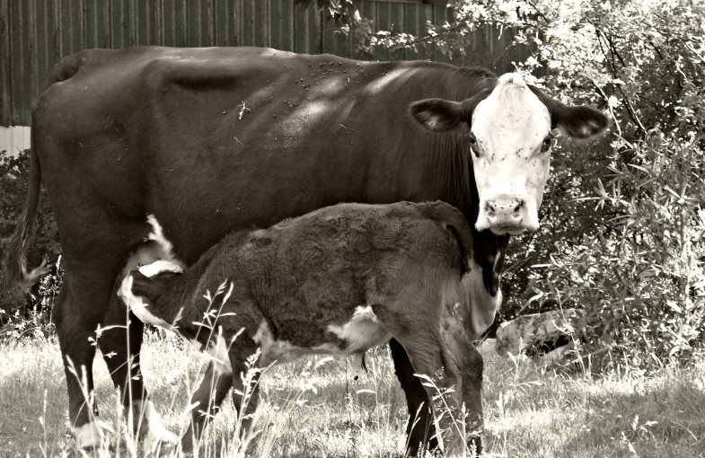 Mama Cow