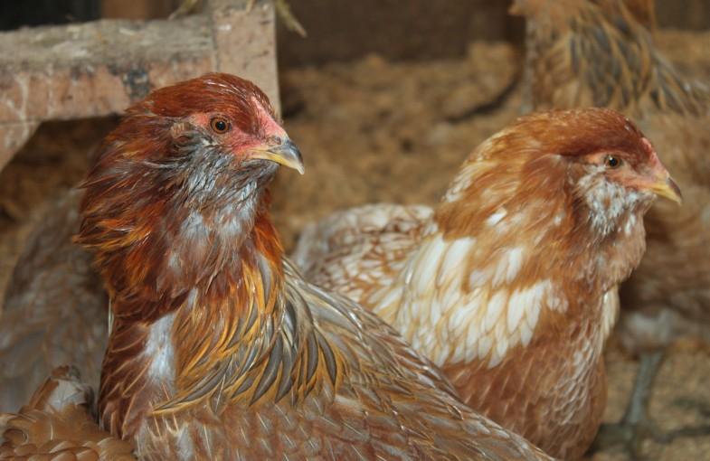 chicken-1224516_1280